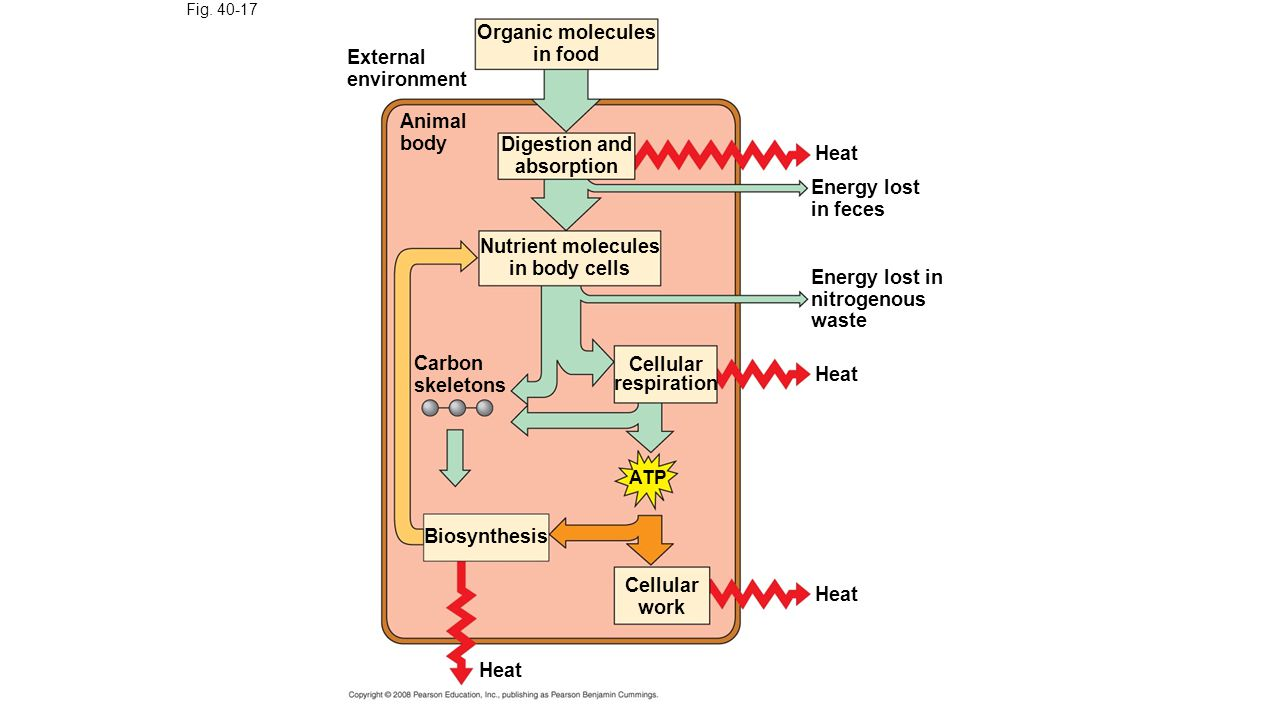 Fig. 40-17 Organic molecules in food External environment Animal body Digestion and absorption Nutrient molecules in body cells Carbon skeletons Cellu