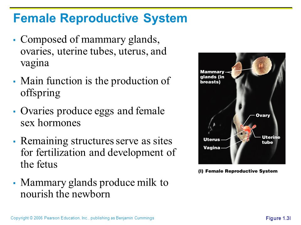 Copyright © 2006 Pearson Education, Inc., publishing as Benjamin Cummings Female Reproductive System  Composed of mammary glands, ovaries, uterine tu
