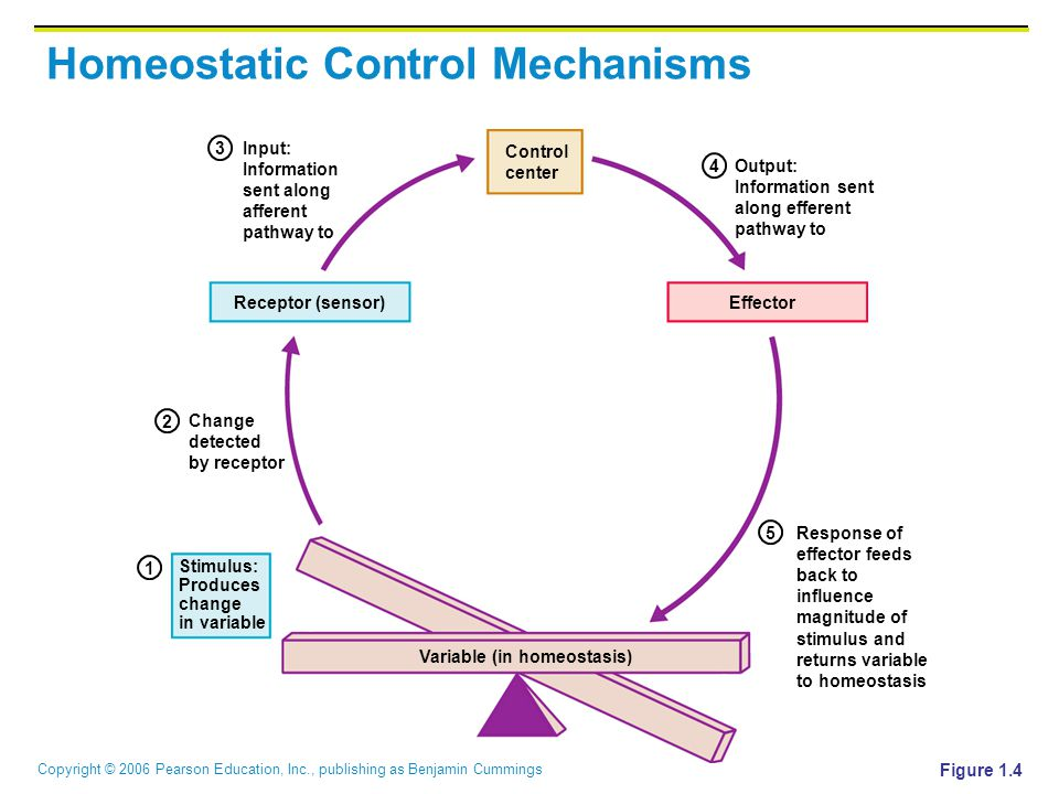 Copyright © 2006 Pearson Education, Inc., publishing as Benjamin Cummings Homeostatic Control Mechanisms Figure 1.4 Change detected by receptor Stimul