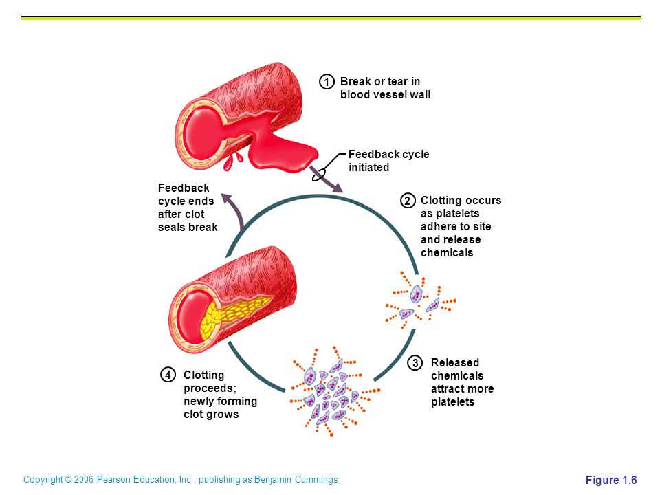 Copyright © 2006 Pearson Education, Inc., publishing as Benjamin Cummings Figure 1.6 Released chemicals attract more platelets Clotting occurs as plat