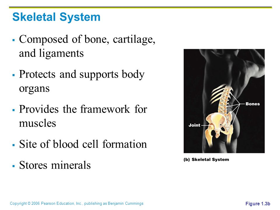 Copyright © 2006 Pearson Education, Inc., publishing as Benjamin Cummings Skeletal System  Composed of bone, cartilage, and ligaments  Protects and
