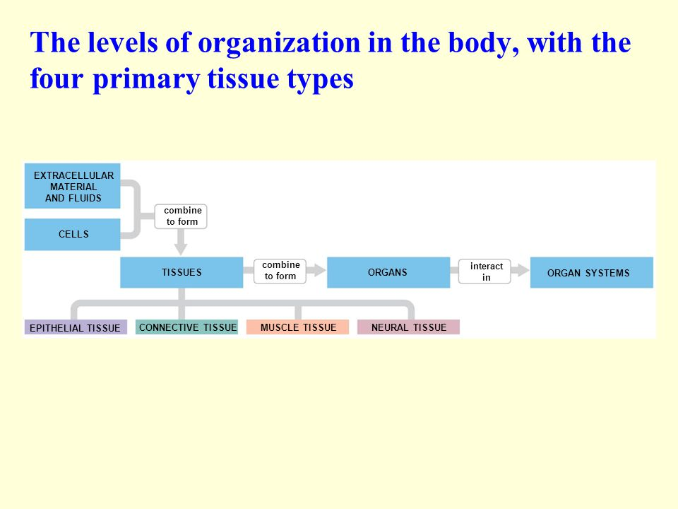 The levels of organization in the body, with the four primary tissue types EXTRACELLULAR MATERIAL AND FLUIDS CELLS combine to form TISSUES combine to form ORGANS interact in ORGAN SYSTEMS EPITHELIAL TISSUE CONNECTIVE TISSUEMUSCLE TISSUE NEURAL TISSUE