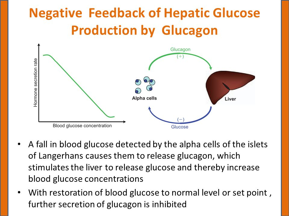 Negative Feedback of Hepatic Glucose Production by Glucagon A fall in blood glucose detected by the alpha cells of the islets of Langerhans causes the