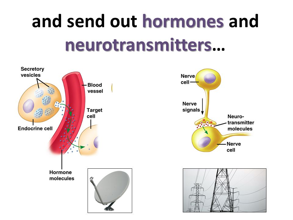 hormones neurotransmitters and send out hormones and neurotransmitters…