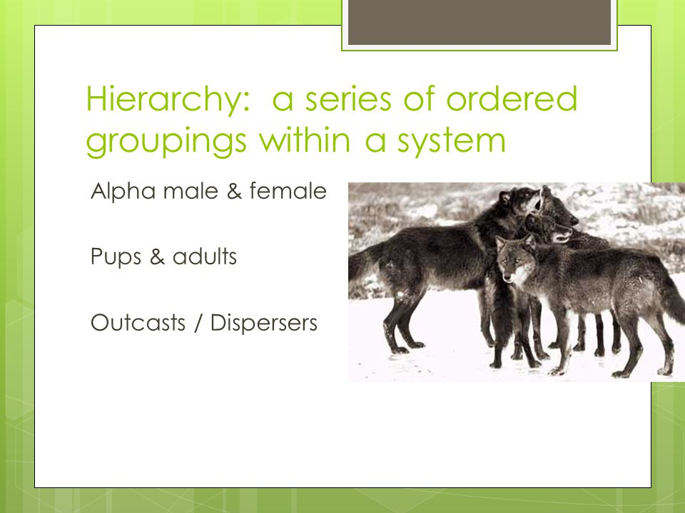 Hierarchy: a series of ordered groupings within a system Alpha male & female Pups & adults Outcasts / Dispersers