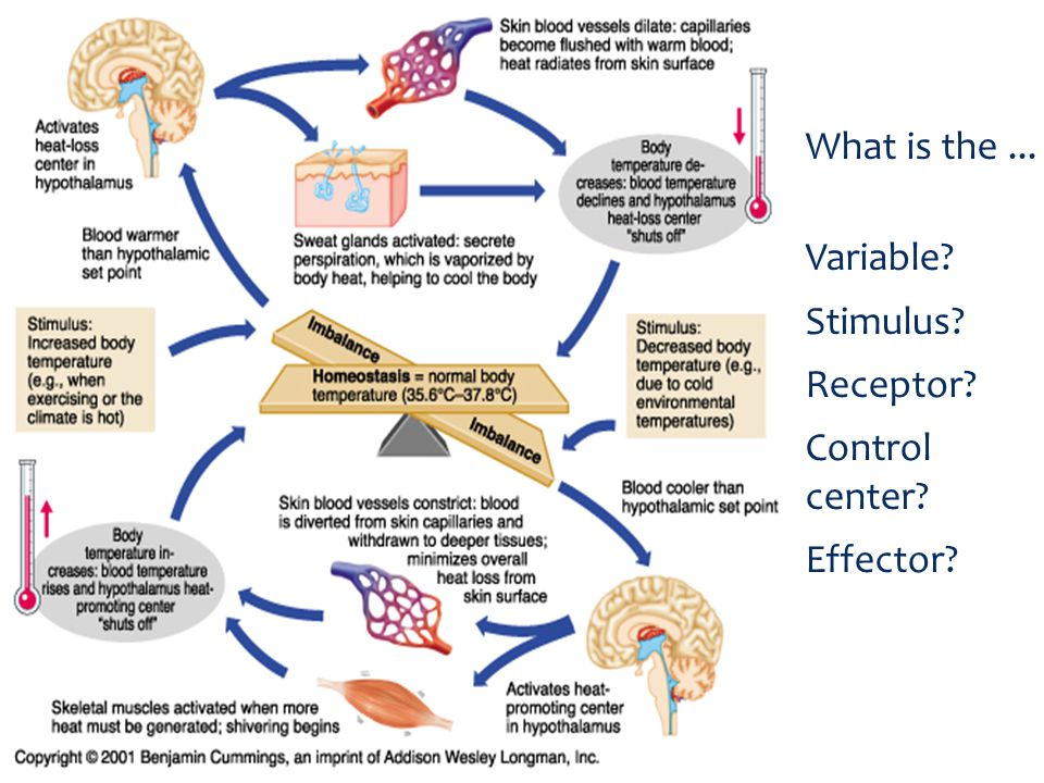 What is the... Variable? Stimulus? Receptor? Control center? Effector?