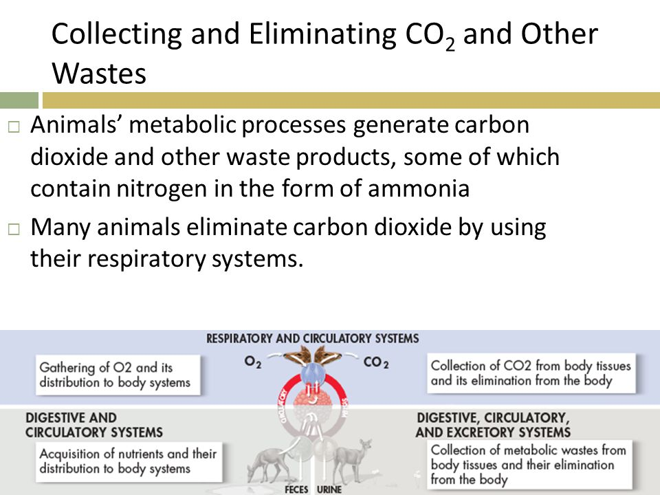 Collecting and Eliminating CO 2 and Other Wastes  Animals' metabolic processes generate carbon dioxide and other waste products, some of which contai