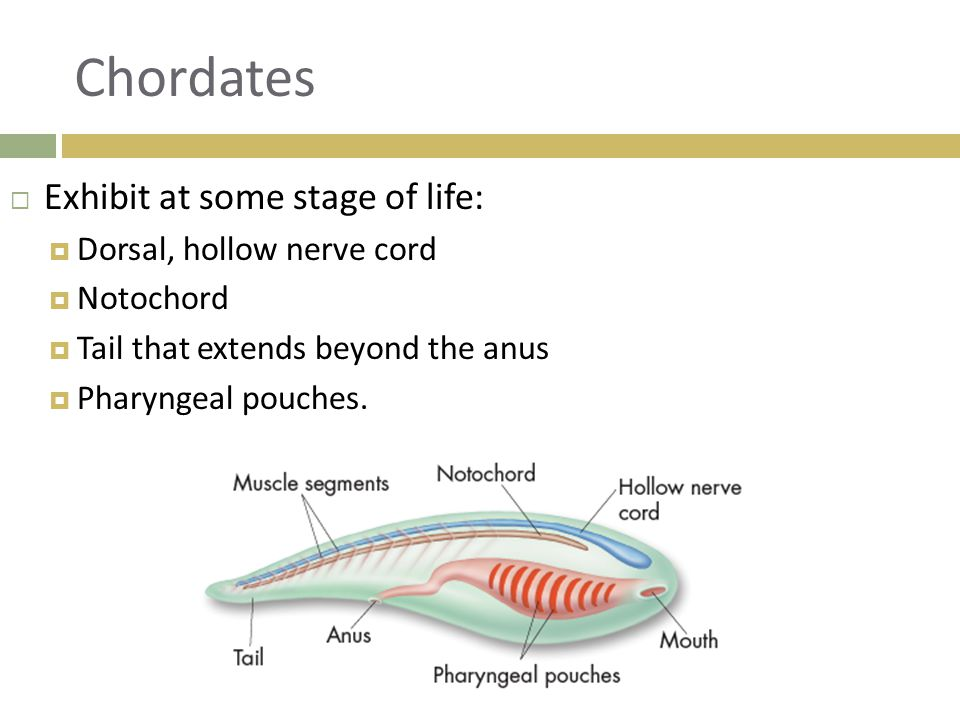 Chordates  Exhibit at some stage of life:  Dorsal, hollow nerve cord  Notochord  Tail that extends beyond the anus  Pharyngeal pouches.