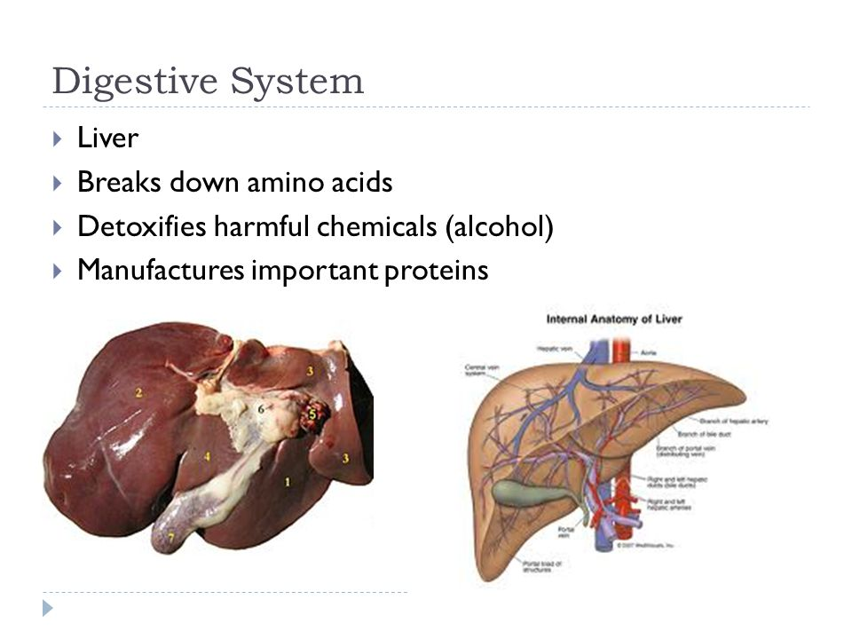 Digestive System  Liver  Breaks down amino acids  Detoxifies harmful chemicals (alcohol)  Manufactures important proteins