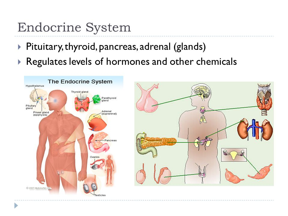Endocrine System  Pituitary, thyroid, pancreas, adrenal (glands)  Regulates levels of hormones and other chemicals