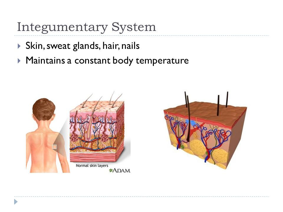 Integumentary System  Skin, sweat glands, hair, nails  Maintains a constant body temperature