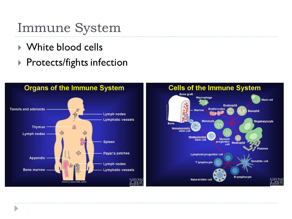 Immune System  White blood cells  Protects/fights infection