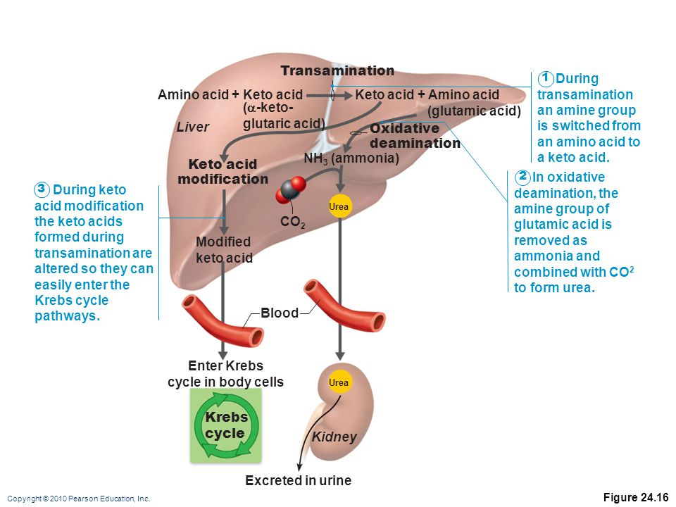 Copyright © 2010 Pearson Education, Inc. Figure 24.16 Krebs cycle Oxidative deamination Transamination Amino acid + Keto acid (  -keto- glutaric acid
