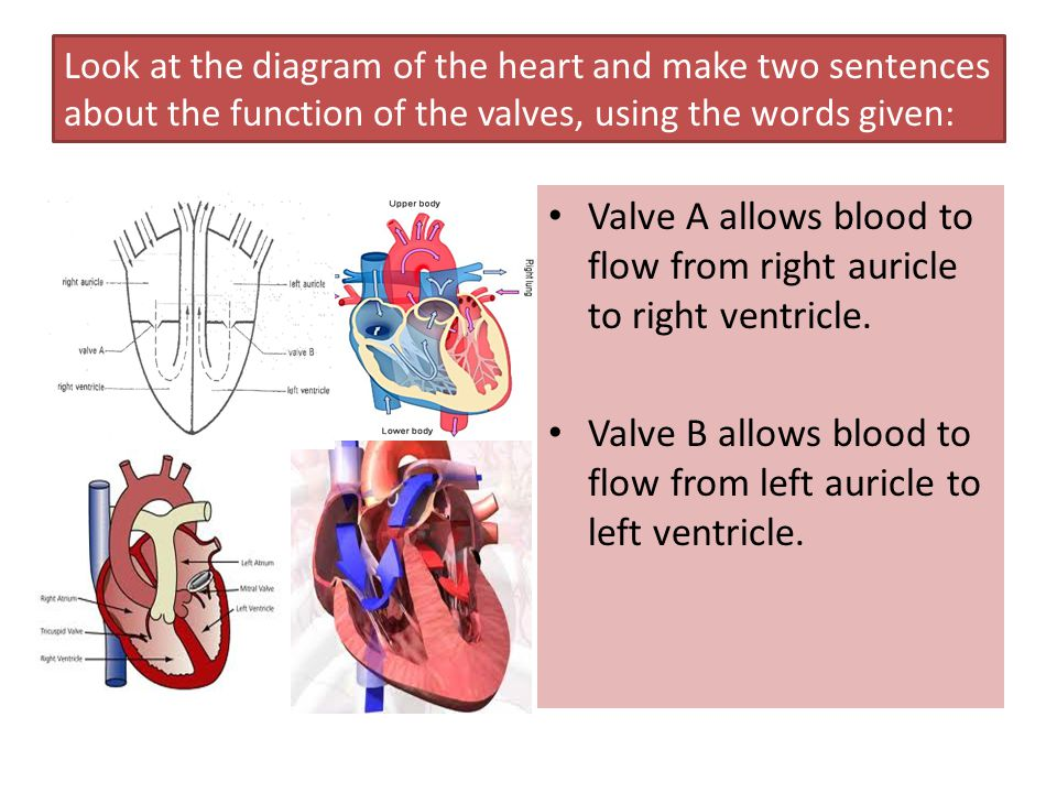 Look at the diagram of the heart and make two sentences about the function of the valves, using the words given: Valve A allows blood to flow from rig