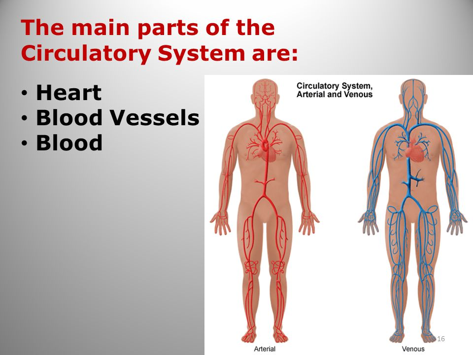 The main parts of the Circulatory System are: Heart Blood Vessels Blood 16