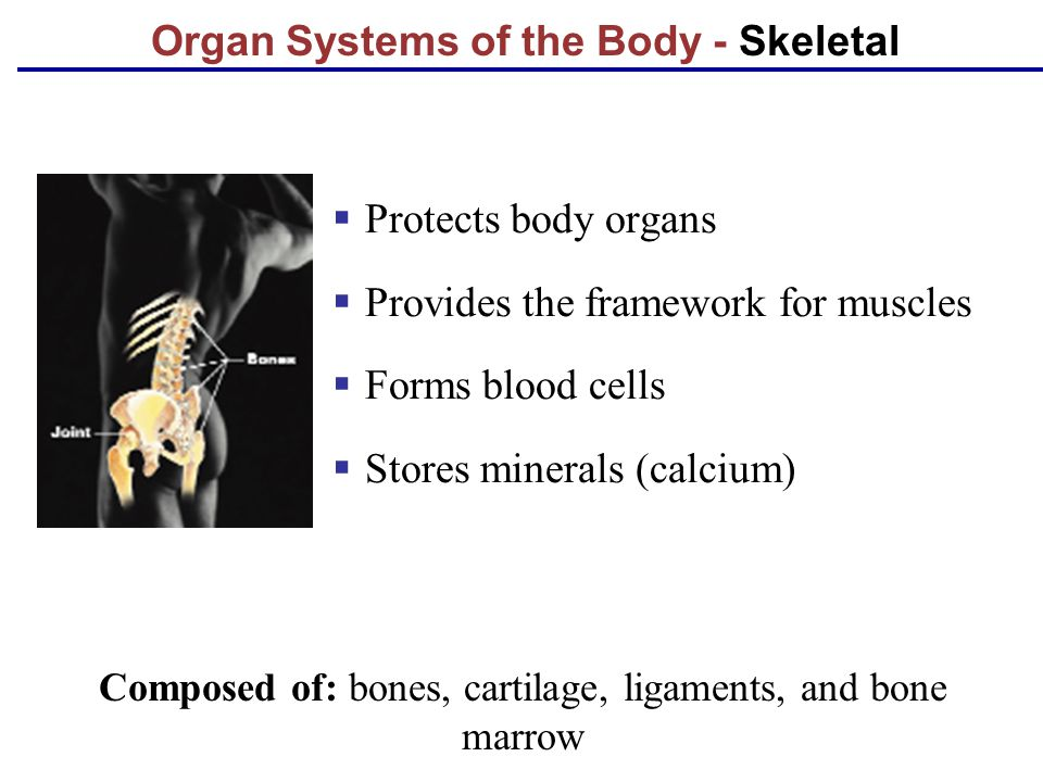 Organ Systems of the Body - Skeletal  Protects body organs  Provides the framework for muscles  Forms blood cells  Stores minerals (calcium) Compo