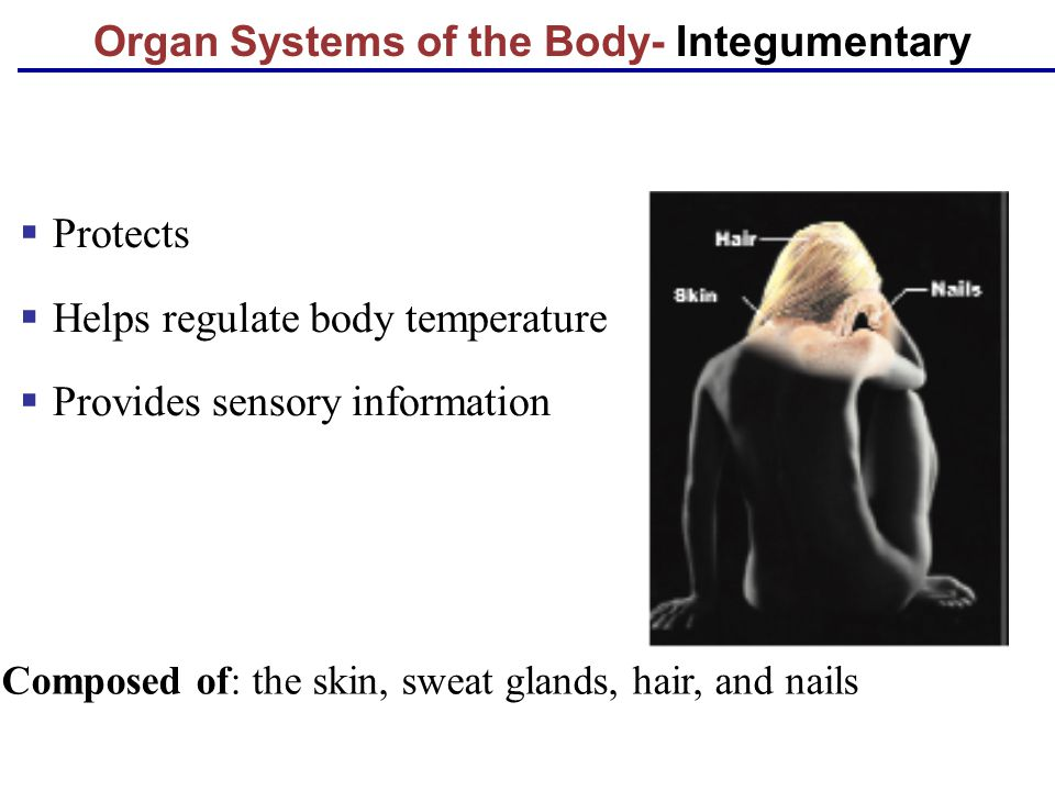 Organ Systems of the Body- Integumentary  Protects  Helps regulate body temperature  Provides sensory information Composed of: the skin, sweat glan