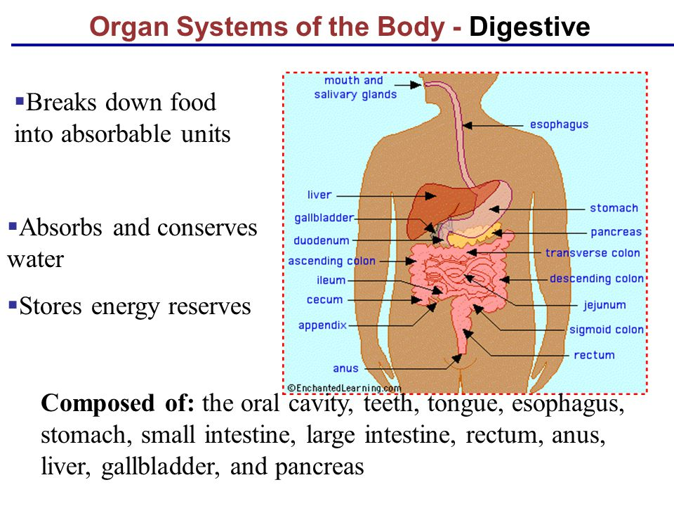 Organ Systems of the Body - Digestive Composed of: the oral cavity, teeth, tongue, esophagus, stomach, small intestine, large intestine, rectum, anus,