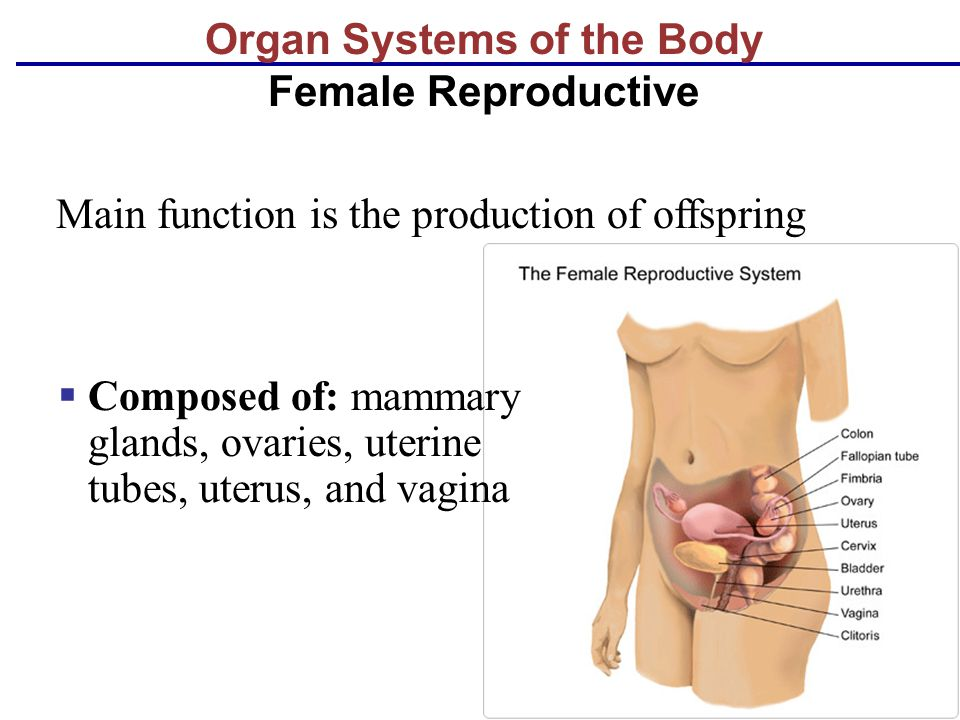 Organ Systems of the Body Female Reproductive  Composed of: mammary glands, ovaries, uterine tubes, uterus, and vagina Main function is the productio