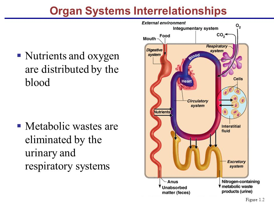 Organ Systems Interrelationships  Nutrients and oxygen are distributed by the blood  Metabolic wastes are eliminated by the urinary and respiratory