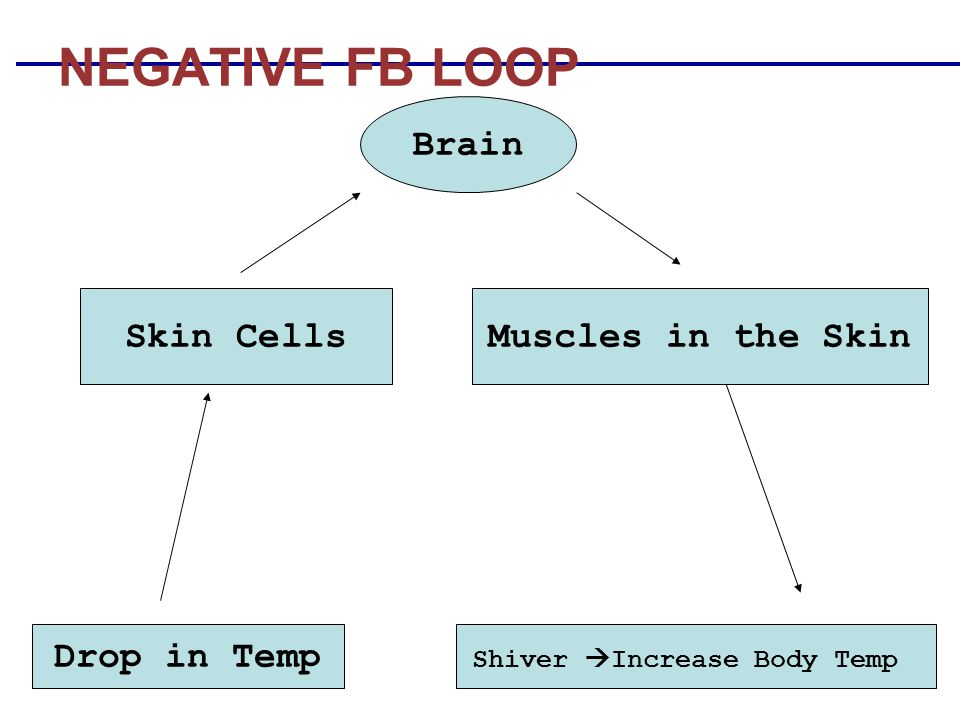 NEGATIVE FB LOOP Drop in Temp Shiver  Increase Body Temp Brain Skin CellsMuscles in the Skin