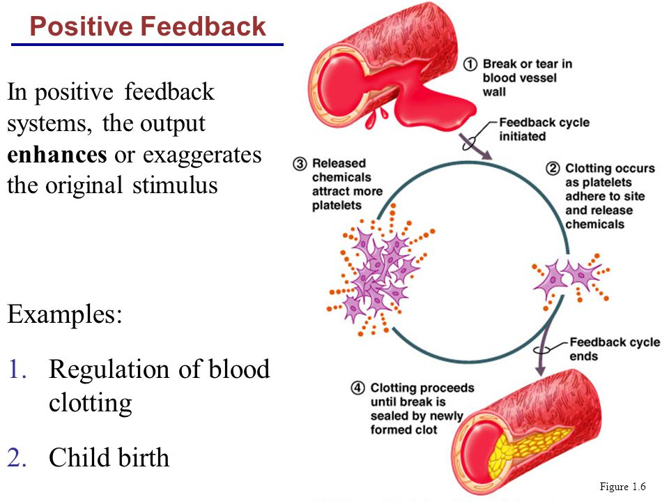 Positive Feedback Examples: 1.Regulation of blood clotting 2.Child birth Figure 1.6 In positive feedback systems, the output enhances or exaggerates t
