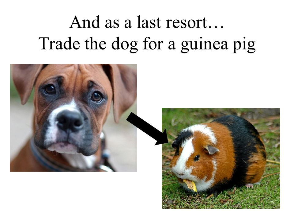 And as a last resort… Trade the dog for a guinea pig 31