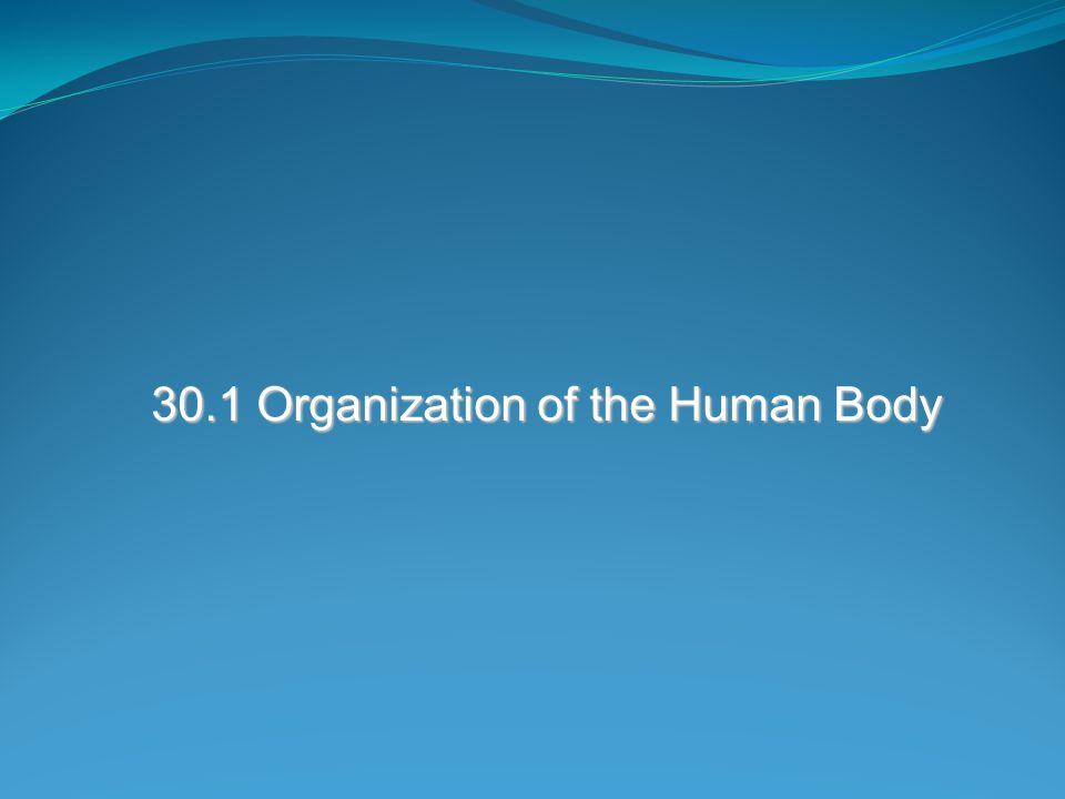 30.1 Organization of the Human Body