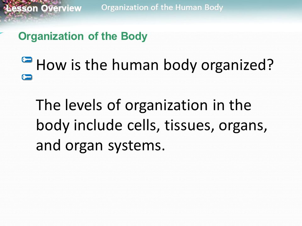 Lesson Overview Lesson Overview Organization of the Human Body Organization of the Body How is the human body organized? The levels of organization in