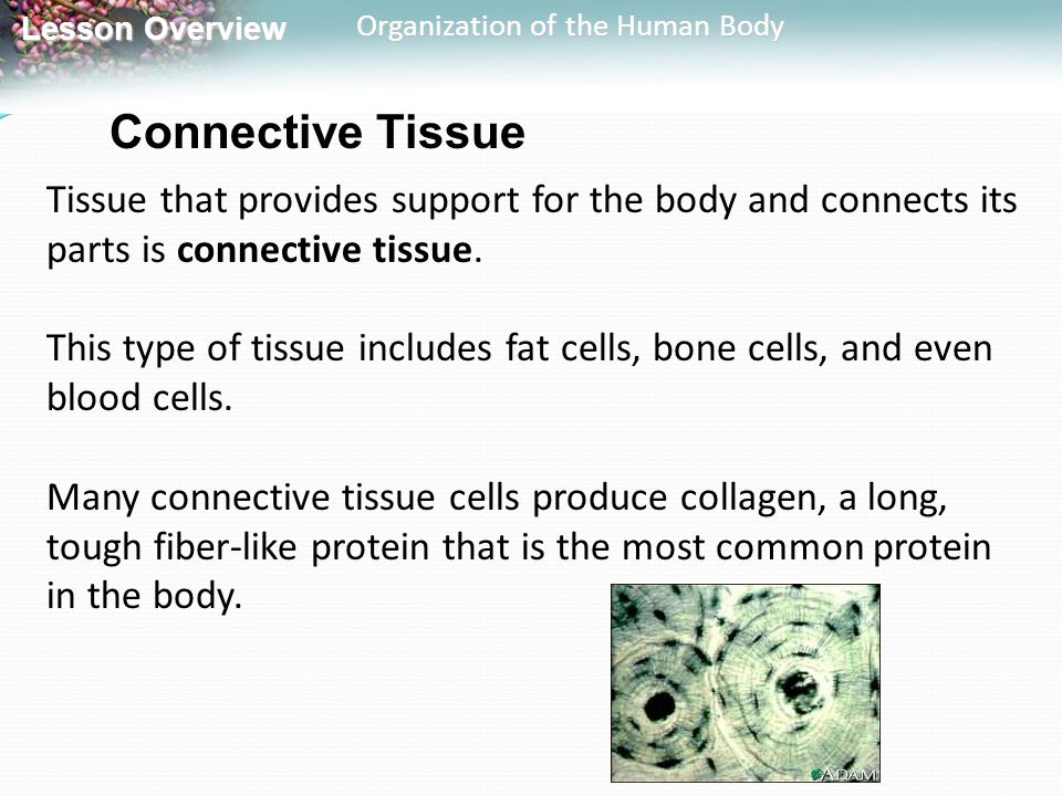 Lesson Overview Lesson Overview Organization of the Human Body Connective Tissue Tissue that provides support for the body and connects its parts is c