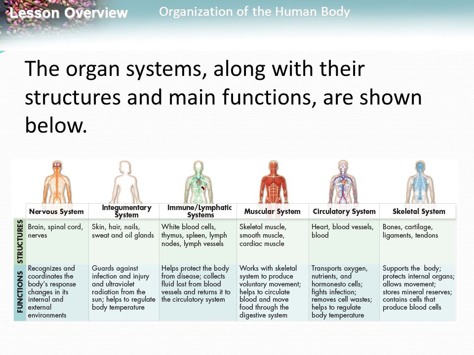 Lesson Overview Lesson Overview Organization of the Human Body The organ systems, along with their structures and main functions, are shown below.