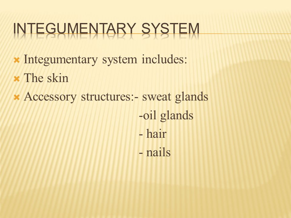  Integumentary system includes:  The skin  Accessory structures:- sweat glands -oil glands - hair - nails