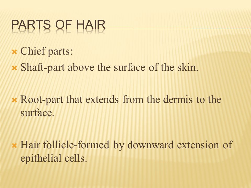 Chief parts:  Shaft-part above the surface of the skin.
