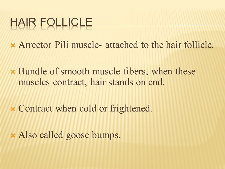  Arrector Pili muscle- attached to the hair follicle.