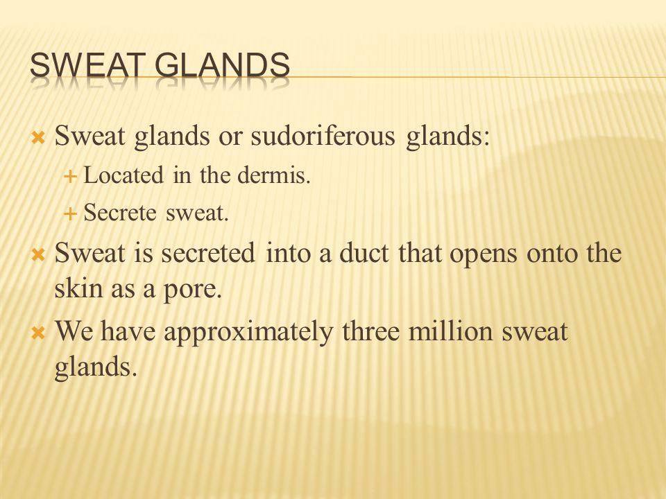  Sweat glands or sudoriferous glands:  Located in the dermis.