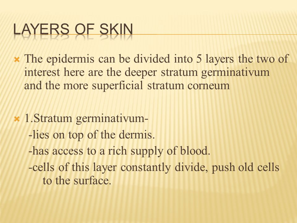  The epidermis can be divided into 5 layers the two of interest here are the deeper stratum germinativum and the more superficial stratum corneum  1.Stratum germinativum- -lies on top of the dermis.