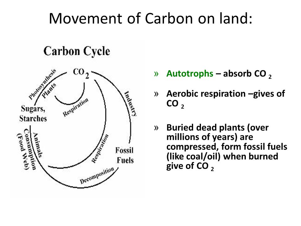 Movement of Carbon on land: » Autotrophs – absorb CO 2 » Aerobic respiration –gives of CO 2 » Buried dead plants (over millions of years) are compress
