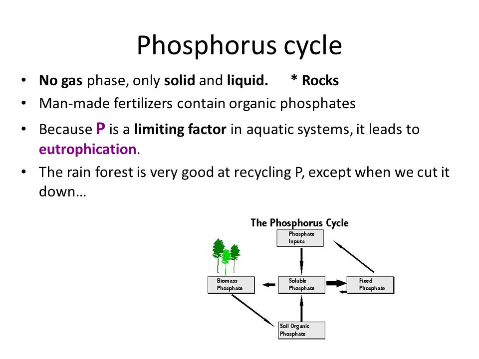 Phosphorus cycle No gas phase, only solid and liquid. * Rocks Man-made fertilizers contain organic phosphates Because P is a limiting factor in aquati