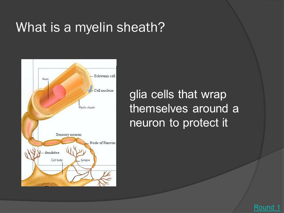 What is a myelin sheath? glia cells that wrap themselves around a neuron to protect it Round 1