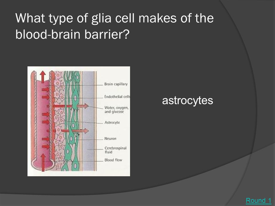 What type of glia cell makes of the blood-brain barrier? astrocytes Round 1