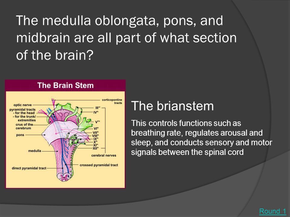 The medulla oblongata, pons, and midbrain are all part of what section of the brain.