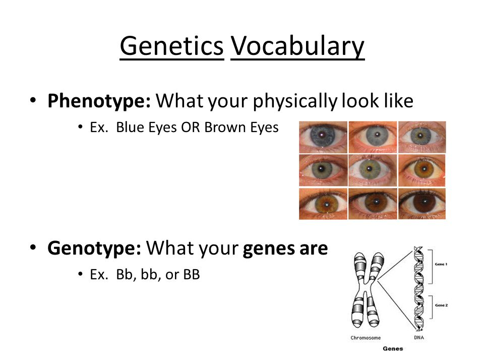 Genetics Vocabulary Phenotype: What your physically look like Ex.