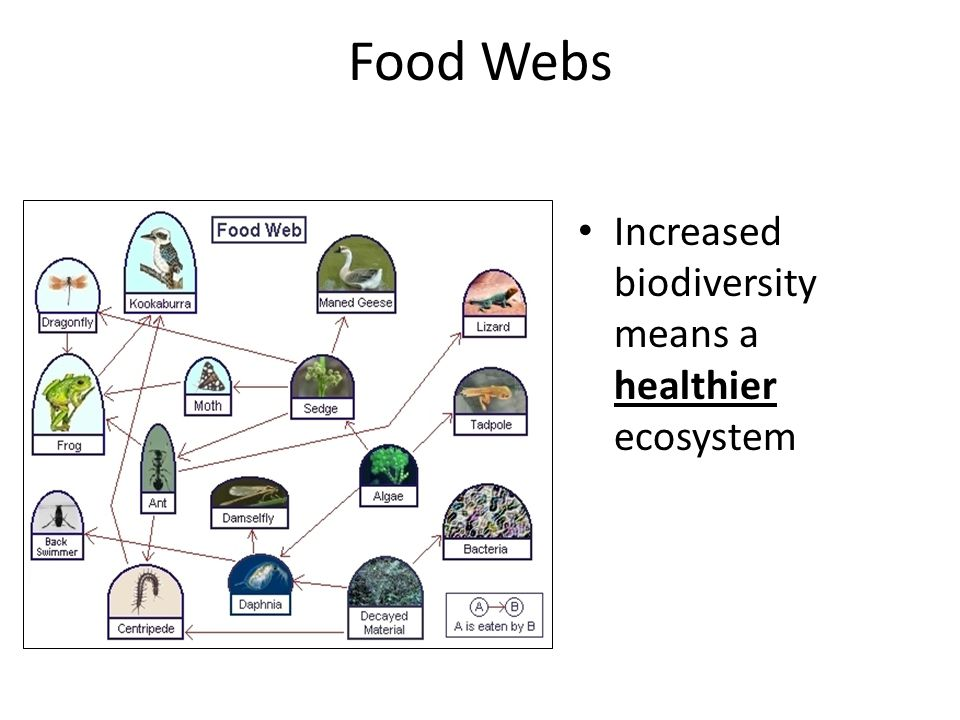 Food Webs Increased biodiversity means a healthier ecosystem