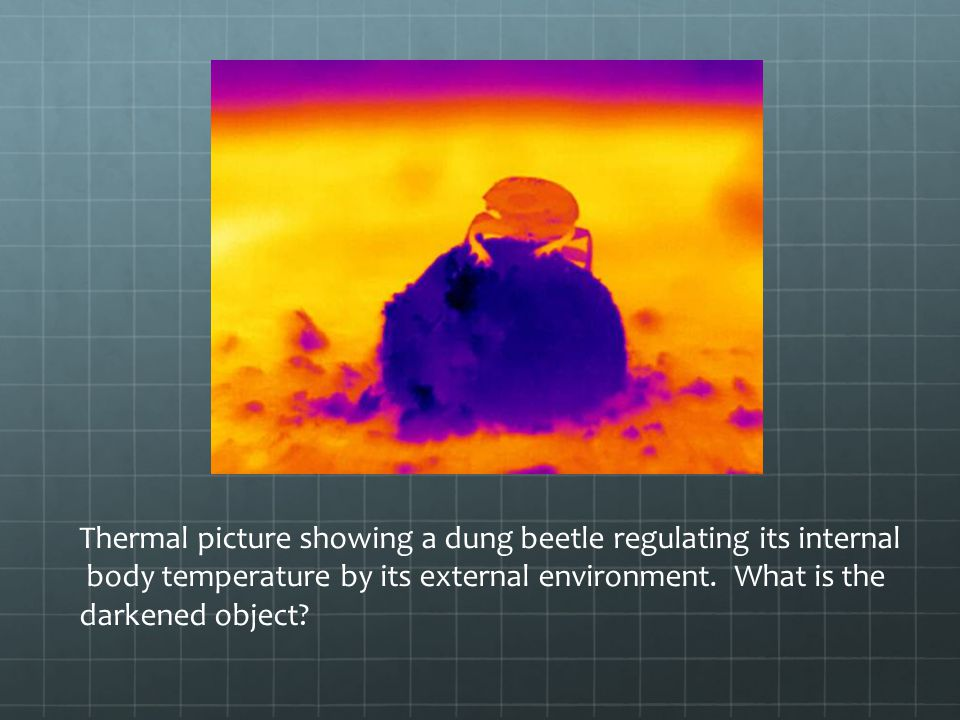 Thermal picture showing a dung beetle regulating its internal body temperature by its external environment.