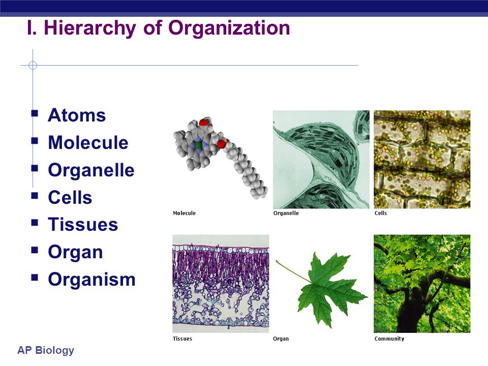 AP Biology I. Life's Hierarchical Order  The living world is a hierarchy, with each level of biological structure building on the level below it