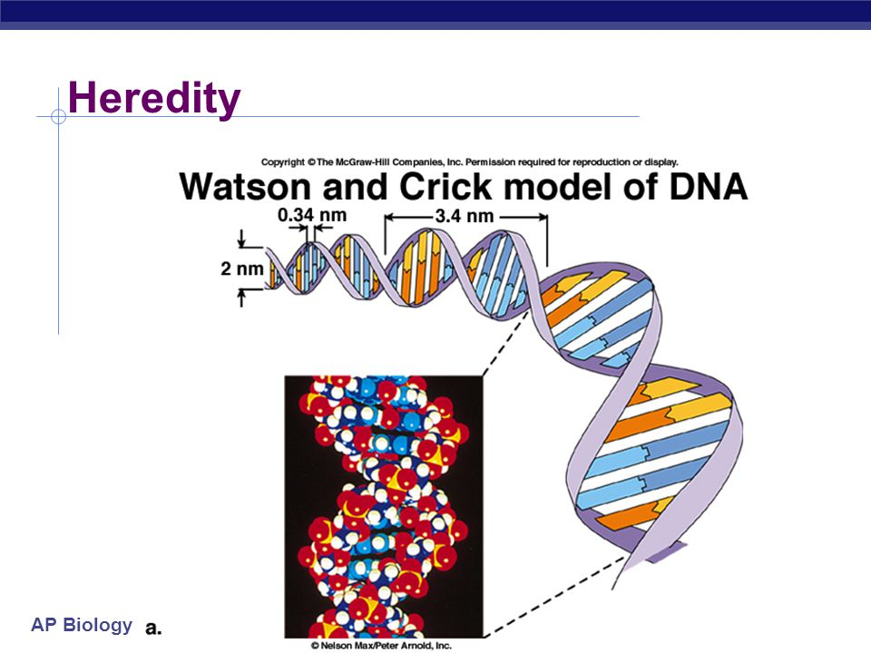 AP Biology V. Heredity  Heritable information in the form of DNA  DNA – the genetic material – carries biological information from one generation to