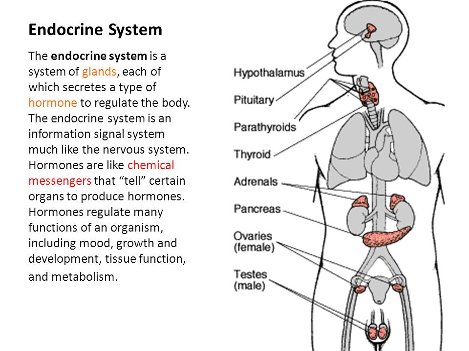 Endocrine System The endocrine system is a system of glands, each of which secretes a type of hormone to regulate the body. The endocrine system is an