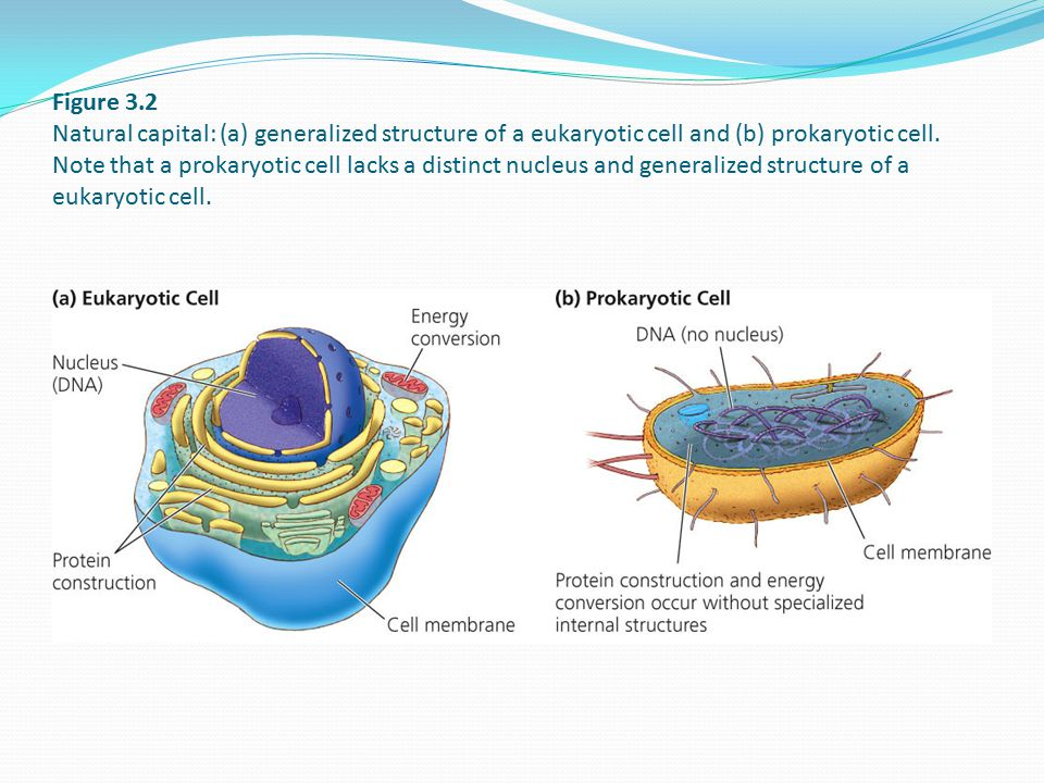 Figure 3.2 Natural capital: (a) generalized structure of a eukaryotic cell and (b) prokaryotic cell. Note that a prokaryotic cell lacks a distinct nuc