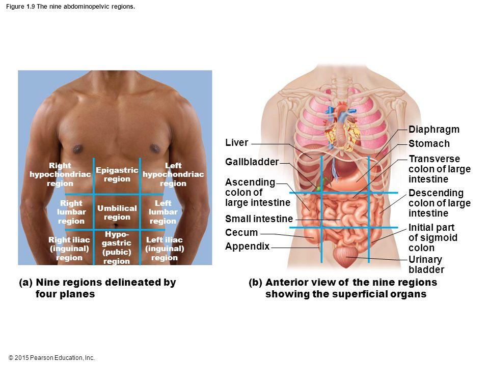 © 2015 Pearson Education, Inc. Figure 1.9 The nine abdominopelvic regions. Right hypochondriac region Left hypochondriac region Epigastric region Umbi