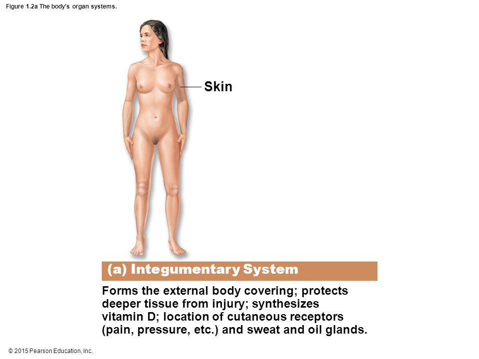 © 2015 Pearson Education, Inc. Figure 1.2a The body's organ systems. (a) Integumentary System Forms the external body covering; protects deeper tissue
